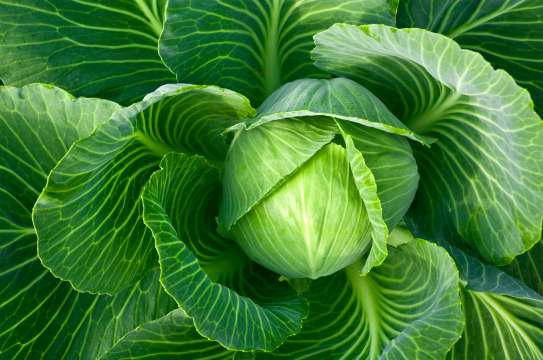 gallery/cabbage